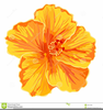 Orange Hibiscus Flower Clipart Image