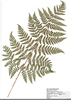 Fern Species Image