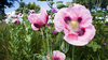 Pink Poppies Wallpaper Image
