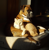 Brindle Boxer And House Cat Image