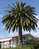 Date Palm Tree Image