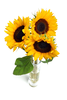 Sunflowers Isolated Sxlh Image