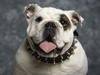 English Bulldog X Image