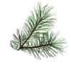 Pine Branch Image