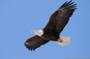Eagle Of Freedom Clipart Image