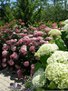 Incrediball Hydrangea Shade Image