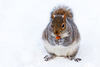 Squirrel In Snow Zjv Image