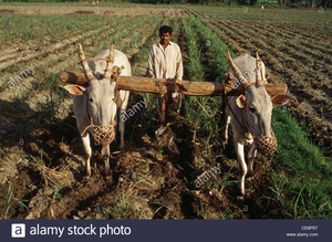 Rva Indian Farmer Ploughing Field With Bullocks Karnataka India Ce P T Image