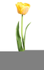 Yellow Tulips And Clipart Image