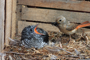 Zebra Birds Breeding Image
