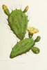 Prickly Pear Cactus Clipart Image