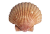 Scallop Shell Jpg Image