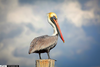 Free Brown Pelican Clipart Image