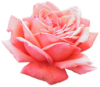 Extracted Pink Rose Image