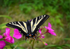 Yellow Swallowtail Image