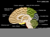 Labeled Brain Model Image