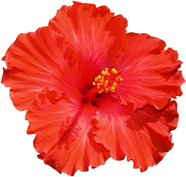 free vector graphic hibiscus - photo #38