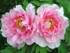 Moving Tree Peonies Image