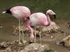 James Flamingo Habitat Image