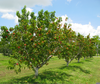 Peach Tree Clipart Image