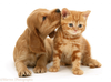 Golden Cocker Spaniel Puppy And Ginger Kitten White Background Image