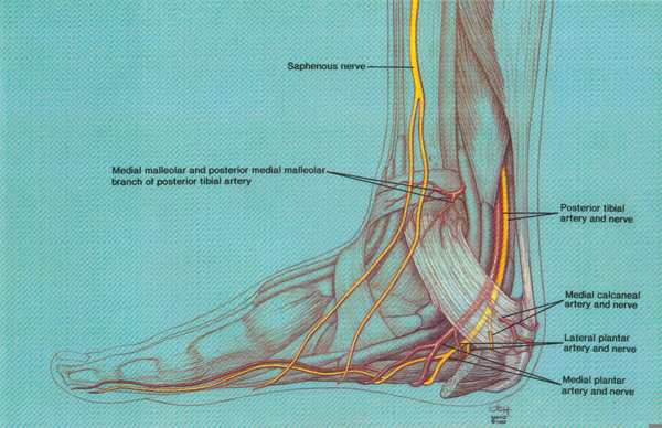 Posterior Tibial Nerve Free Images At Clker Vector Clip Art