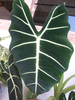 Plant Leaf Image