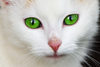 Cat With Green Eyes An Image