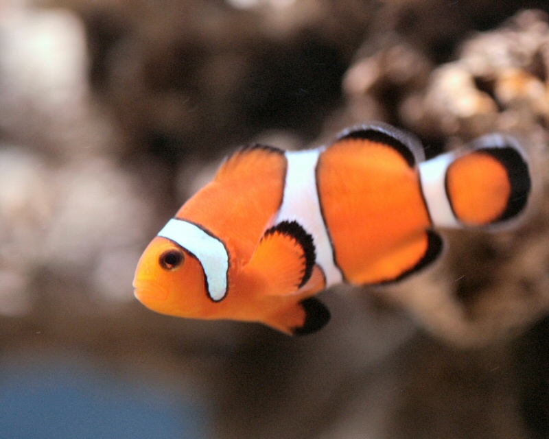 Clown fish free images at vector clip art for Clown fish size