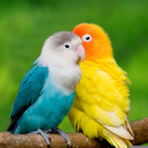 Love Birds Wallpaper Image