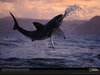 Great White Jumping Wallpaper Image
