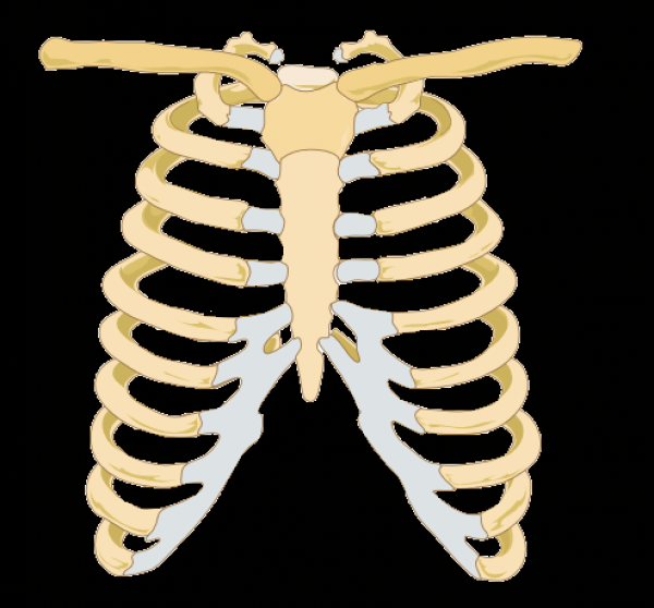 rib cage free images at clker com vector clip art a diagram of a hot air balloon of the density