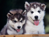 Baby Huskies Wallpaper Image