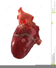 Clipart Heart Human Image