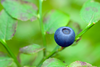 Blueberry Image