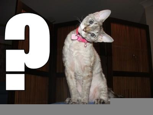 Question Mark Cat Free Images At Clker Com Vector Clip