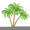 Palm Tree With Coconuts Clipart Image