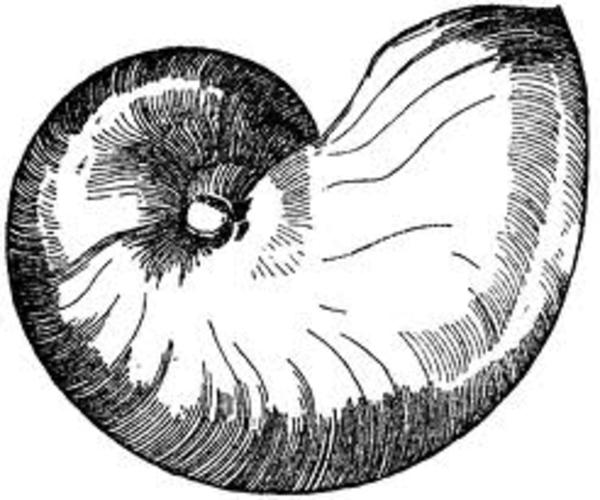 Line Art Nautilus : Sampleimages free images at clker vector clip art
