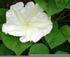 Moon Flower Vine Image
