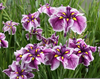Japanese Iris Uk Image
