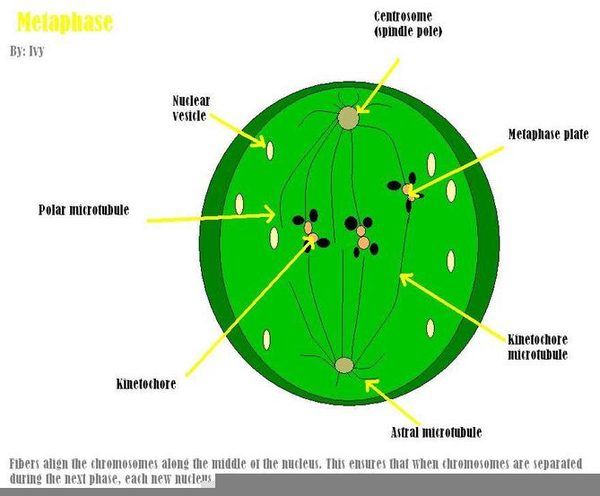 Telophase Labeled Free Images At Clker Vector Clip Art