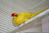 Red Parakeet Picture Image
