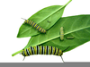 Clipart Cocoon Image
