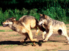Wolves Running Images Image