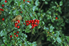 Holly Bushes Image