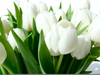 White Tulips Flowers Image