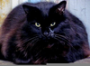 Obese Black Cat Image