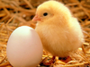 Baby Chicken Image