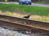 Dscn Cat On Railroad Tracks Shell Road Image