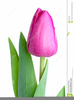 Pink Tulip Clipart Image